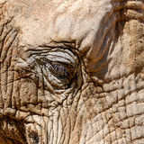 Wild African Elephant Portrait Royalty Free Stock Photography