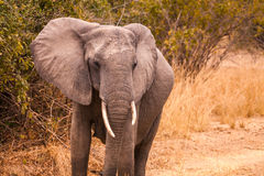 Wild african elephant stock photos