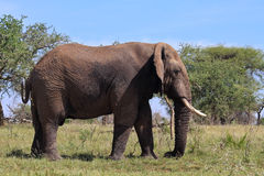 Wild African Elephant in Tanzania. Wild African elephant in Grumeti Reserves, Tanzania Stock Photography