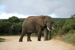 African elephant on road. Wild african elephant walking on road Stock Photography