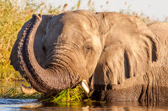 Wild African Elephant in the water royalty free stock photography