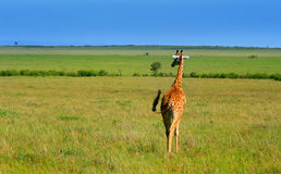 Wild African Giraffe Royalty Free Stock Photo