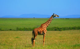 Wild African Giraffe Royalty Free Stock Photography