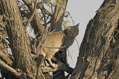 Wild African Grey cat. A seldom seen African Grey Wild Cat climbs into a tree in the Kgalagadi National Park, South Africa royalty free stock photos