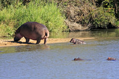 Wild african hippo Stock Photos