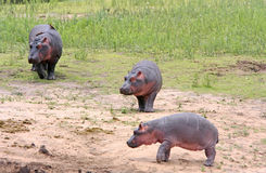 Wild african hippos Royalty Free Stock Photo