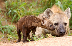 Wild african hyaena Royalty Free Stock Photos