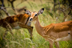 Wild African impala chewing on grass. Wild impala, deer, antelope in natural habitat chewing on grass Stock Photography