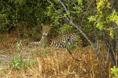 Stunning wild leopard hiding himself in Moremi Game Reserve