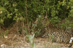 Stunning wild leopard sunning himself in Moremi Game Reserve stock photography