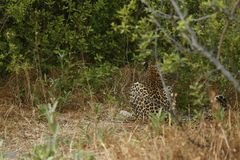 Stunning wild leopard sunning himself in Moremi Game Reserve stock photo