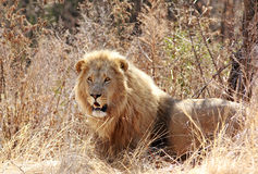 Wild african lion Royalty Free Stock Image