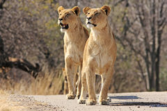 Wild african lion Stock Photos