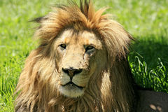 Wild african lion. Closeup in South Royalty Free Stock Photos