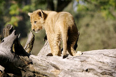 Wild african lion Stock Photos