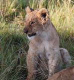 Wild African Lion Cub. This is a wild African lion cub in the wilds of South Africa Royalty Free Stock Image