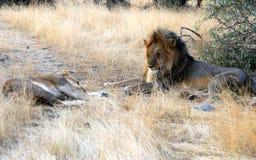 Wild african lion of Masai Mara reserve in Kenya Stock Image