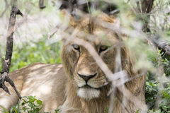 Wild African Lion Panthera leo Resting in the Bushes Stock Photos