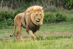 Wild african lion. On the prowl Stock Photos