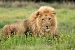 Wild african lion. Reaxing in grass Royalty Free Stock Images