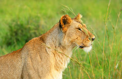 Wild african lioness Royalty Free Stock Image