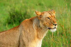 Wild african lioness. Africa. Kenya. Masai Mara royalty free stock photography