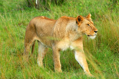 Wild african lioness Royalty Free Stock Photos