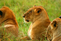 Wild African Lioness Royalty Free Stock Images