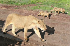 Wild African lioness with cubs coming along road. Stock Image