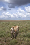 Wild african lioness in savanna. With clouds stock photos
