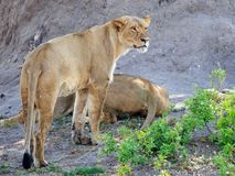 Wild African Lioness standing looking alert in Hwange National Park, Zimbabwe. African Lioness standing looking alert while another is lying down asleep. Hwange royalty free stock photo
