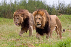 Wild african lions. Close up of two wild african lions Royalty Free Stock Image