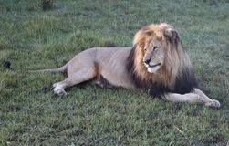 Wild African Male Lion. Rest in the early morning light Stock Photography