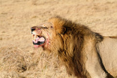 Wild African Male Lion Roaring. Close up capture of a wild African male lion roaring with teeth showing shot in Botswana Stock Photos