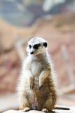 Wild African Meerkat (Suricata suricatta) Stock Image