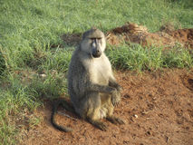 Wild african monkey. Mombasa sitting Stock Images