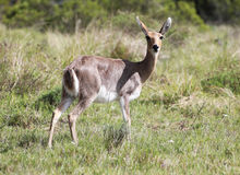 Wild African Mountain Reed Buck Female Stock Photo