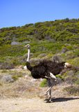 Wild African ostrich Royalty Free Stock Photos