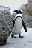 Wild African Penguin Stock Photography