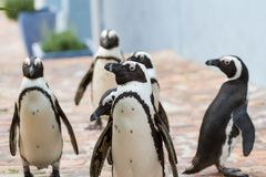 Wild Penguins Urban Prowl. Wild African Penguins Spheniscus demersus walk the streets at the Boulders Beach colony in Table Mountain National Park, South Africa Royalty Free Stock Images
