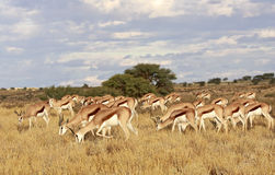Wild african springbok Royalty Free Stock Photography
