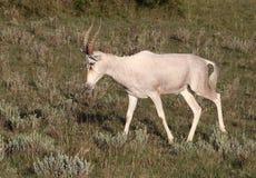 Wild African White Blesbok Male Royalty Free Stock Photo