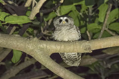 Wild African Wood-Owl Strix woodfordii in Tree at Night in Nor Royalty Free Stock Photography