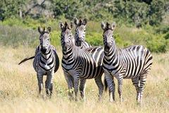 Wild african zebra Stock Image