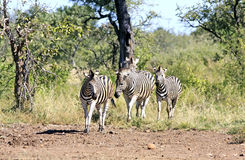 Wild african zebra Royalty Free Stock Images
