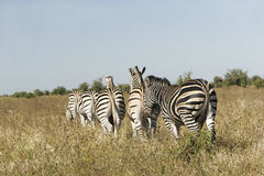 Wild african zebra herd Stock Image