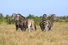 Wild african zebra herd Stock Photo