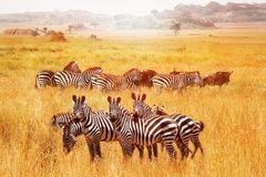 Wild African zebras in the Serengeti National Park. Africa. Tanzania.  royalty free stock photo