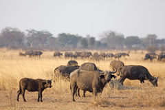 Wild afrikansk buffel Royaltyfri Foto