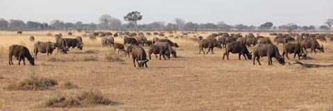 Wild afrikansk buffel Arkivbild